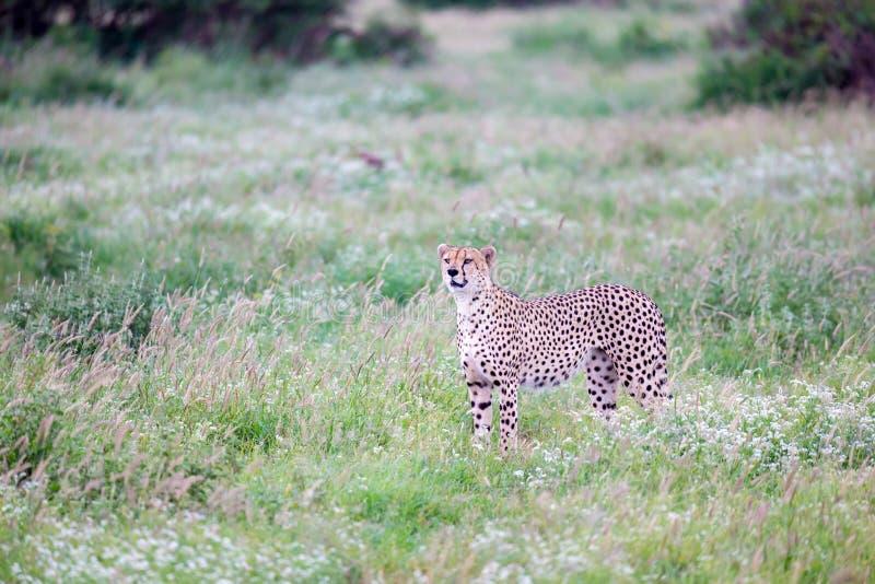 Ghepardo nel pascolo nella savana del Kenya fotografia stock