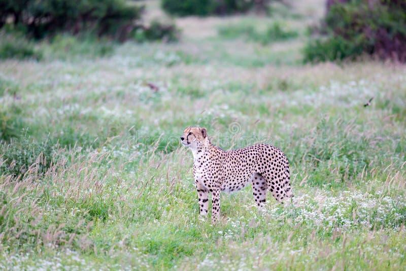 Ghepardo nel pascolo nella savana del Kenya fotografie stock