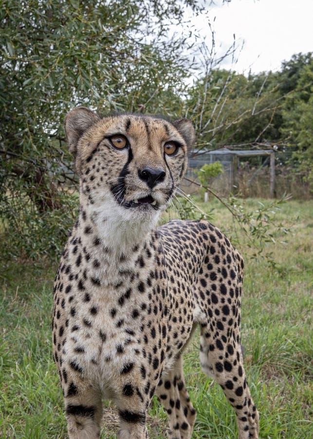 Ghepardo nella cattività fotografie stock