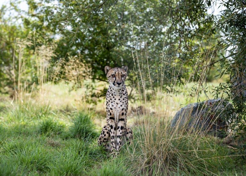 Ghepardo nella cattività fotografia stock libera da diritti