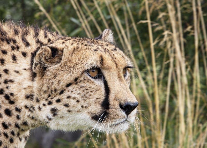 Ghepardo nella cattività, ritratto immagini stock libere da diritti