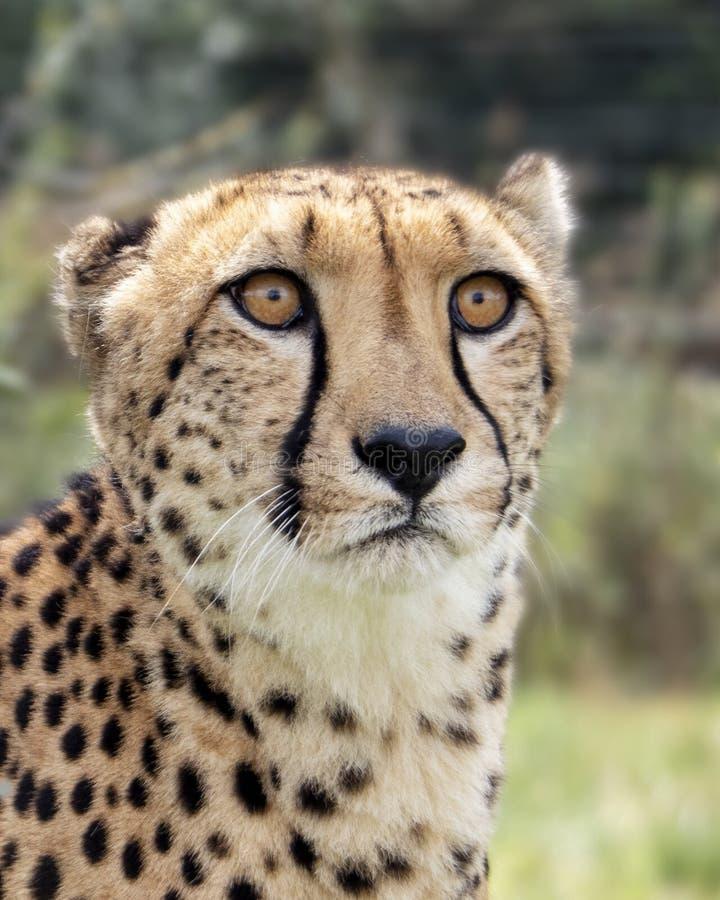 Ghepardo nella cattività, ritratto fotografia stock