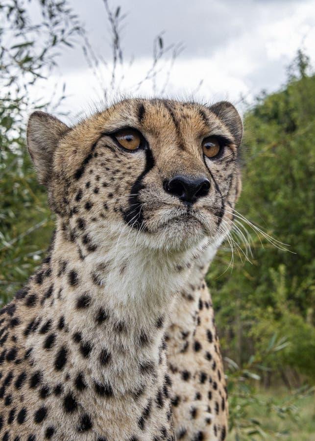 Ghepardo nella cattività, ritratto fotografie stock libere da diritti