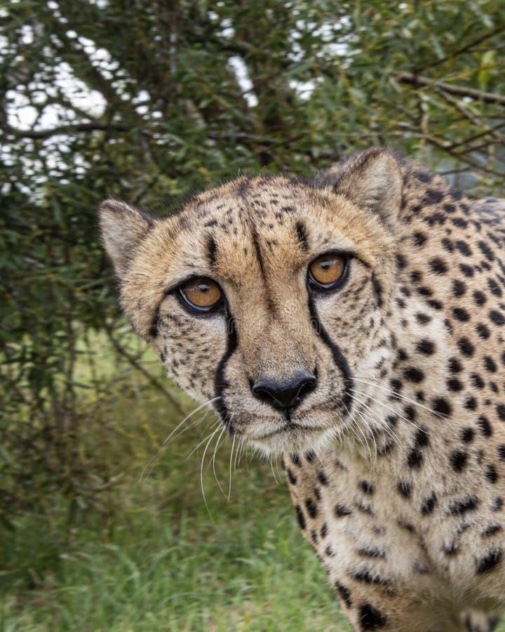 Ghepardo nella cattività, ritratto, beffardo immagini stock