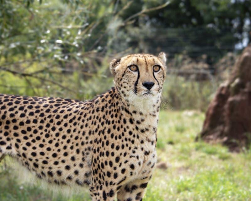 Ghepardo nella cattività, stante immagini stock
