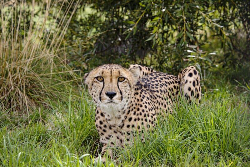 Ghepardo nella cattività, trovantesi nel grass7 fotografia stock libera da diritti