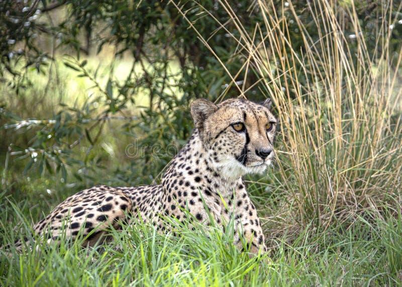 Ghepardo nella cattività, trovantesi nel grass7 fotografia stock