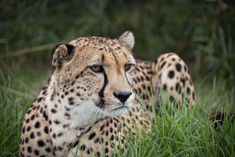 Ghepardo nella cattività, trovantesi nel grass7 immagini stock libere da diritti