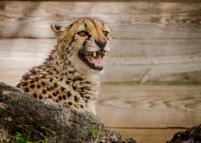 Ghepardo nella cattività in una mostra dello zoo fotografia stock