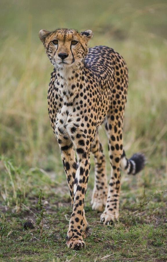 Ghepardo nella savanna Primo piano kenya tanzania l'africa Sosta nazionale serengeti Maasai Mara immagini stock