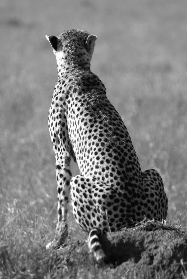 Ghepardo selvaggio in savanna in in bianco e nero fotografia stock