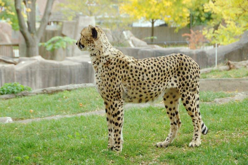Ghepardo solo al giardino zoologico immagine stock libera da diritti