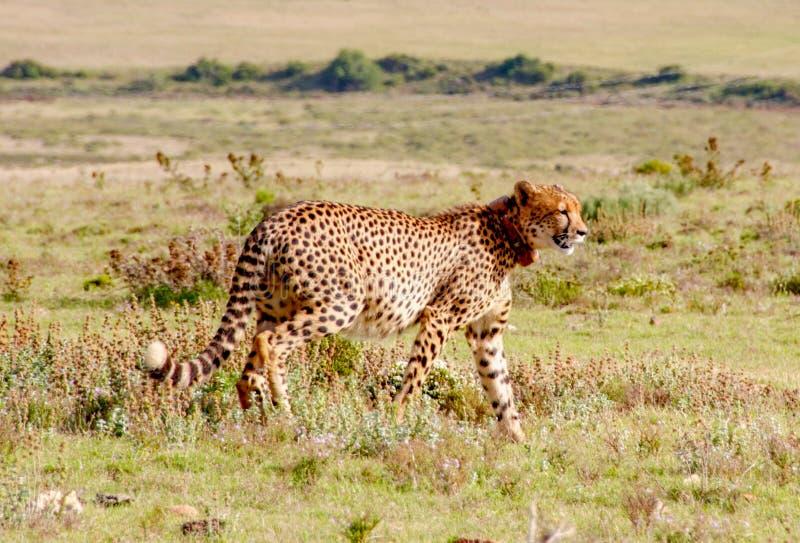 Ghepardo 2, Sudafrica immagini stock libere da diritti