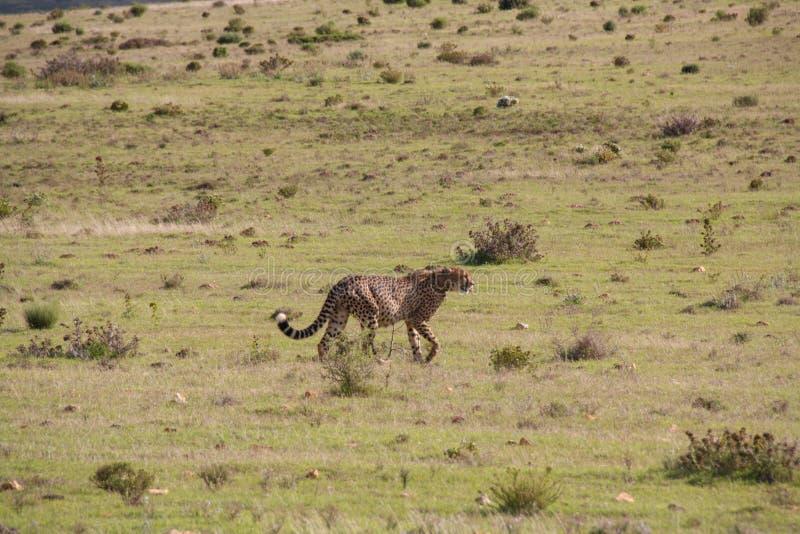 Ghepardo 3, Sudafrica fotografia stock libera da diritti