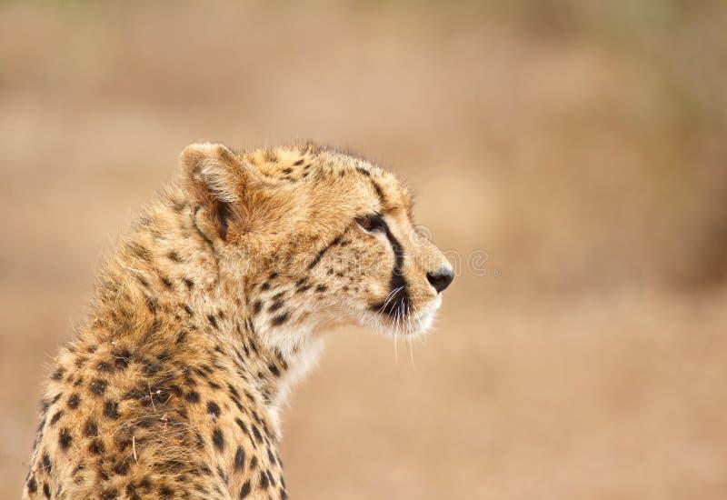 Ghepardo in Sudafrica fotografia stock libera da diritti