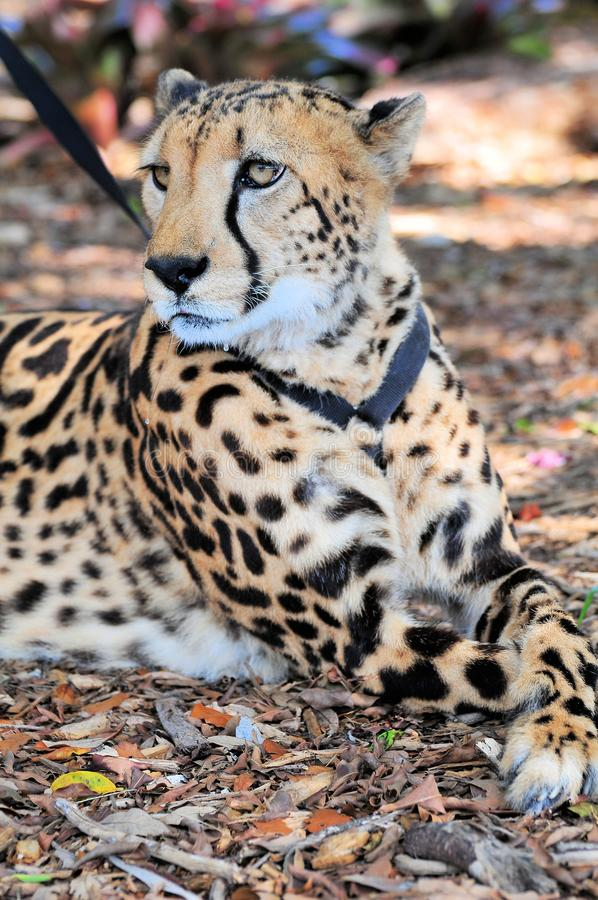 Ghepardo sul guinzaglio in zoo fotografia stock libera da diritti