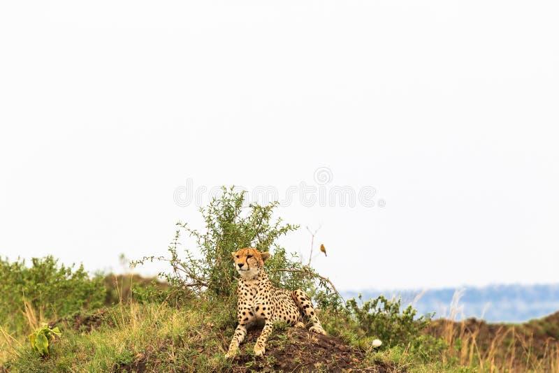 Ghepardo sulla collina Punto di vista in savanna Masai Mara, Kenia fotografie stock