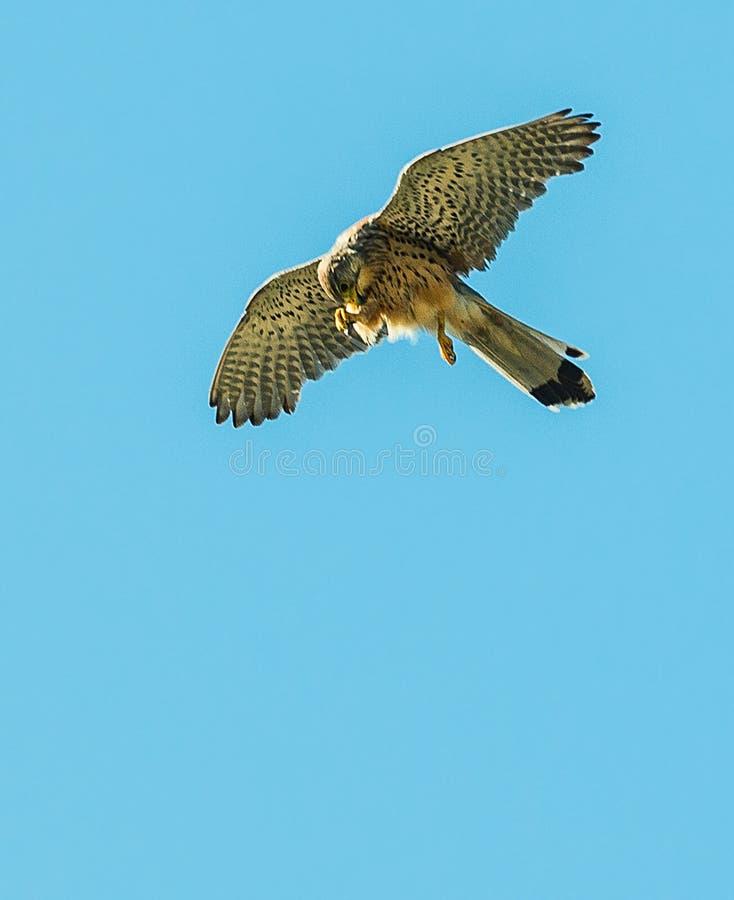 Gheppio del falco fotografie stock