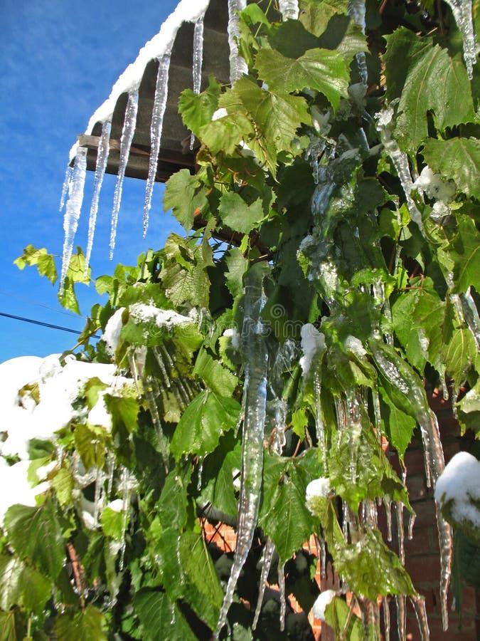 Ghiaccioli sull'uva verde immagine stock