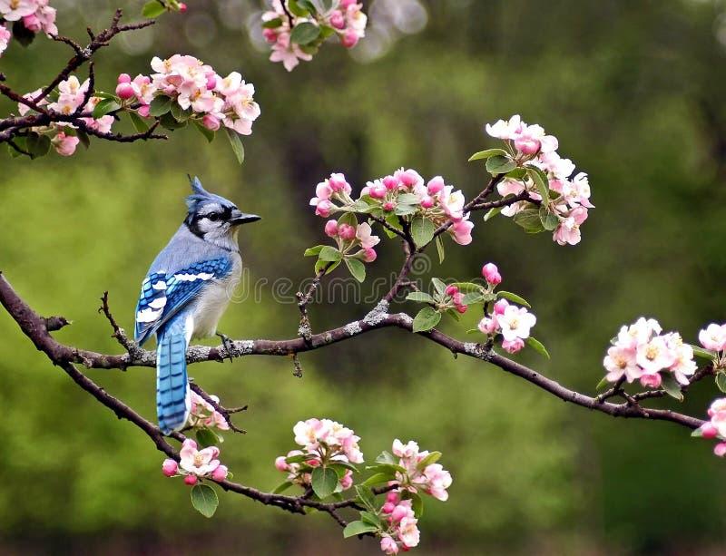 Ghiandaia azzurra americana immagini stock libere da diritti