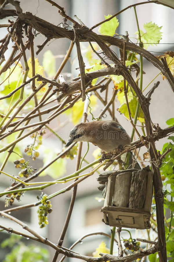 Ghiandaia euroasiatica fotografie stock