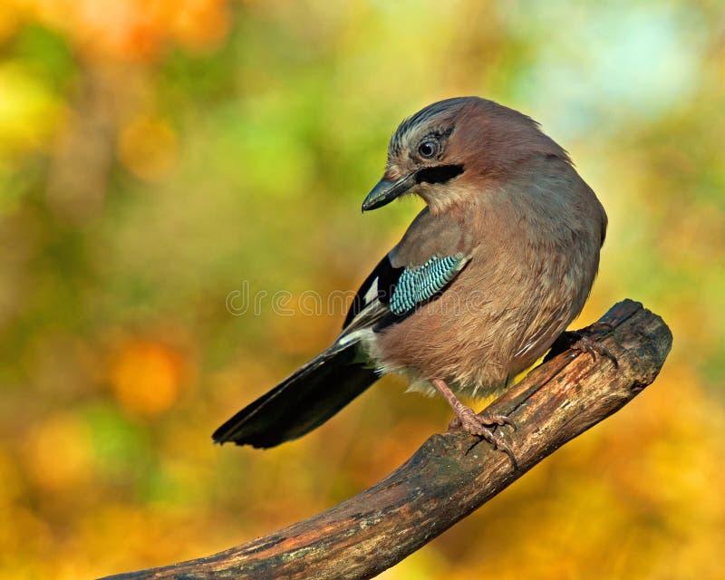 Ghiandaia euroasiatica con i colori di autunno intorno  fotografie stock libere da diritti