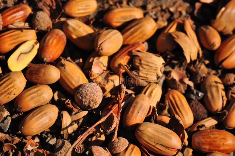 Ghiande che si trovano sulla terra in autunno fotografie stock