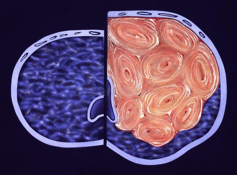 Ghiandola di prostata - sezione trasversale - colore falso illustrazione vettoriale
