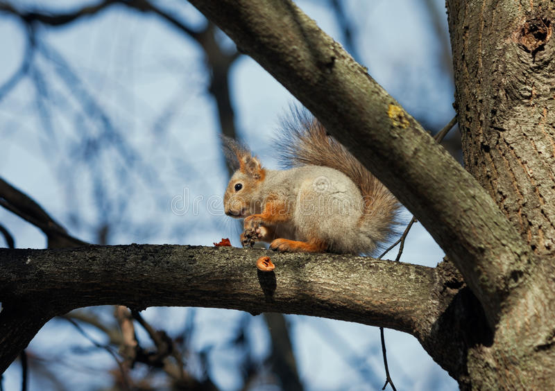 Ghiottone dello scoiattolo immagini stock libere da diritti