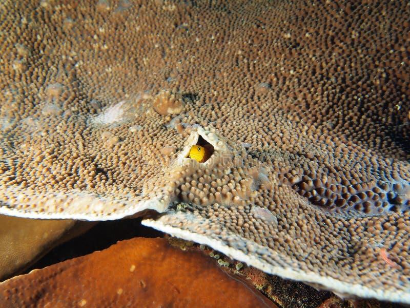 Ghiozzo giallo della guardia notturna nella sua casa di corallo immagine stock