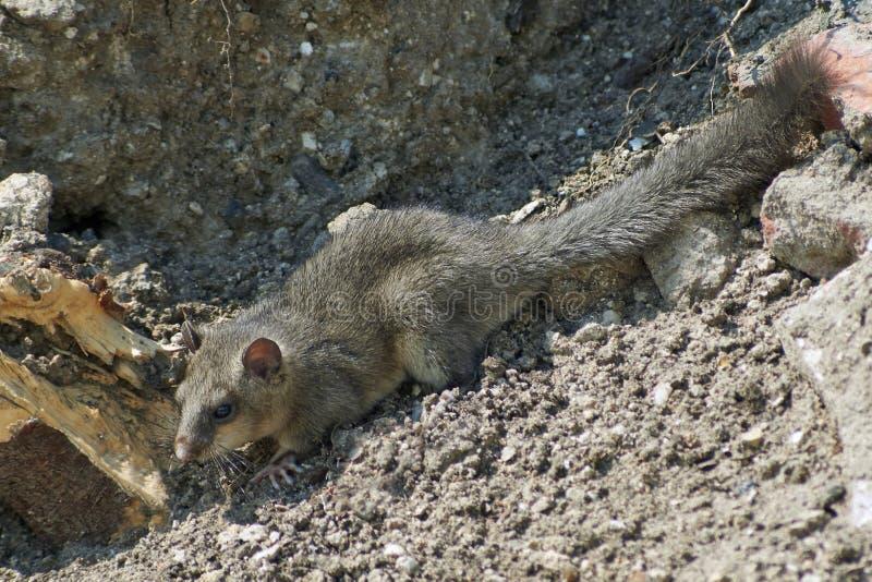 Download Ghiro - Abitante Di Legno Della Foresta Immagine Stock - Immagine di immagine, animali: 56892909