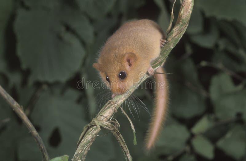 Ghiro nocciola o comune, avellanarius del Muscardinus fotografia stock