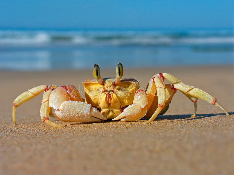 Ghost crab stock image