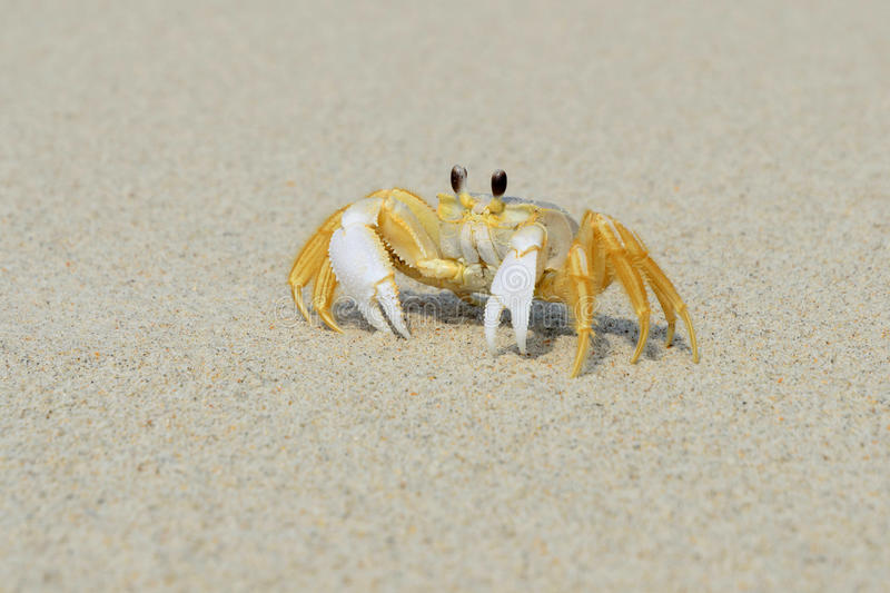 Tropical Island Beach Ambience Sound: Ghost Crab On Beach Stock Image. Image Of Water