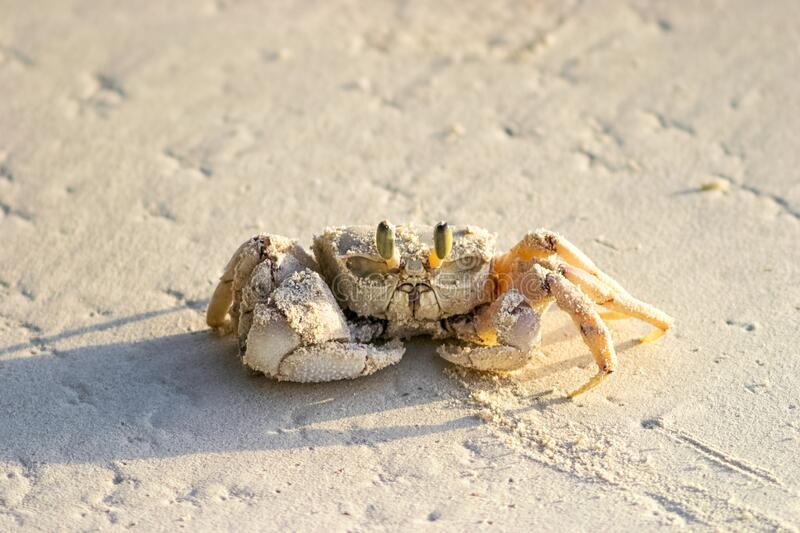 Ghost crab on the beach sand stock images