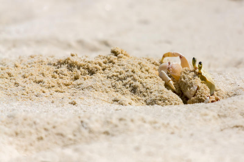 Ghost Crab Gathering Sand From Hole royalty free stock photos