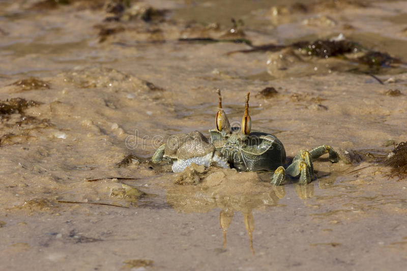Ghost crab, Mozambique royalty free stock image