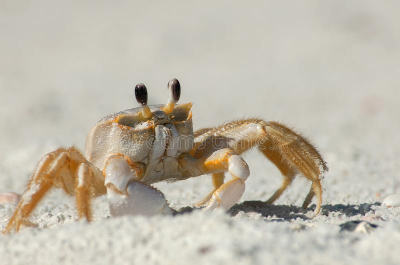 A ghost crab in the sand along Wiggins Pass, Florida. A semiterrestrial ghost crab Ocypodinae arthropods walks through the sand along Wiggins Pass, Florida. It stock photos