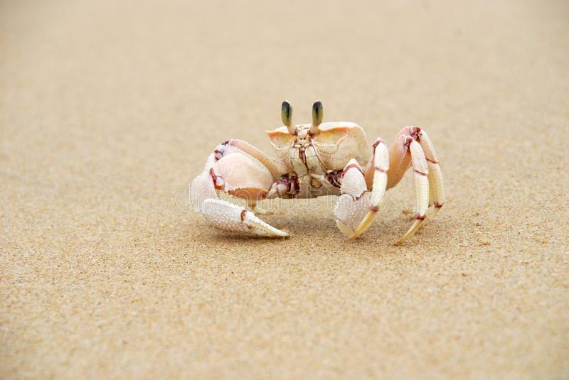 Ghost Crabs stock photography