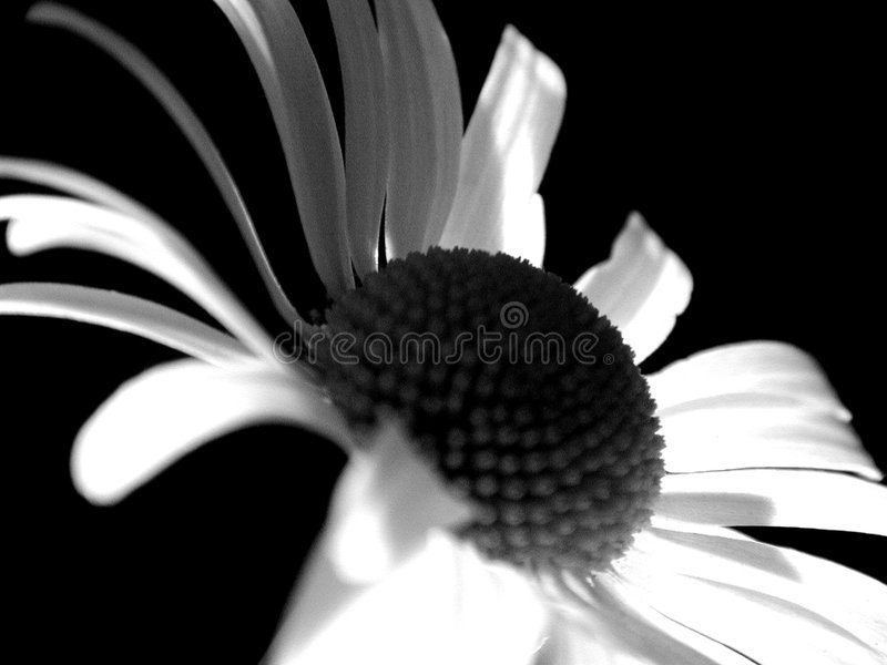 Ghost Daisey Flower royalty free stock photos