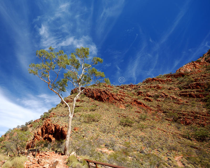 Ghost Gum (Corymbia aparrerinja). Image of Ghost Gum tree with red quartzite rocks on background stock image