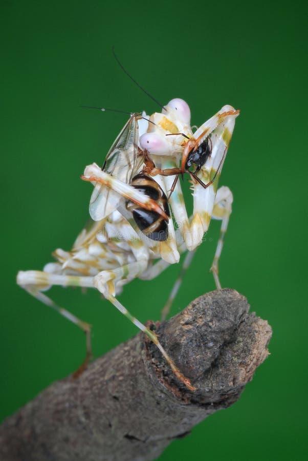 Ghost mantis eat ant. Predator, prey, natural, macro, nature, wild, wildlife royalty free stock photos