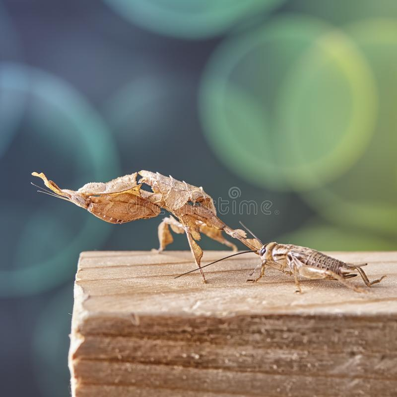 Ghost mantis Phyllocrania paradoxa - African predatory insect. Macro royalty free stock images