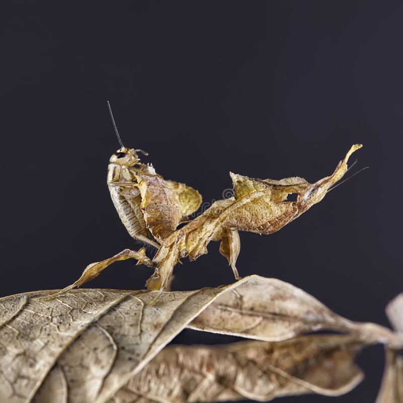 Ghost mantis Phyllocrania paradoxa - African predatory insect. Macro royalty free stock photos