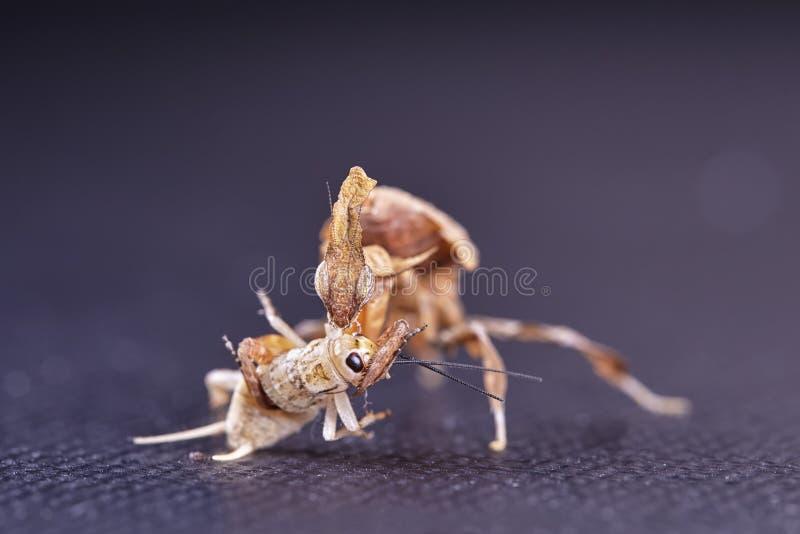 Ghost mantis Phyllocrania paradoxa - African predatory insect. Macro stock photos