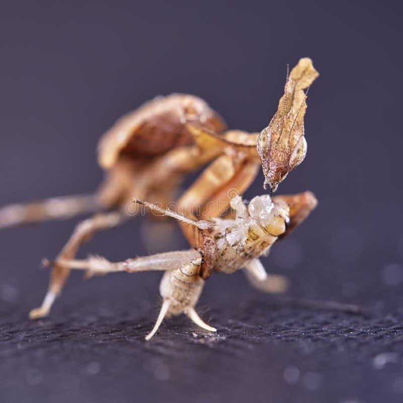 Ghost mantis Phyllocrania paradoxa - African predatory insect. Macro stock image