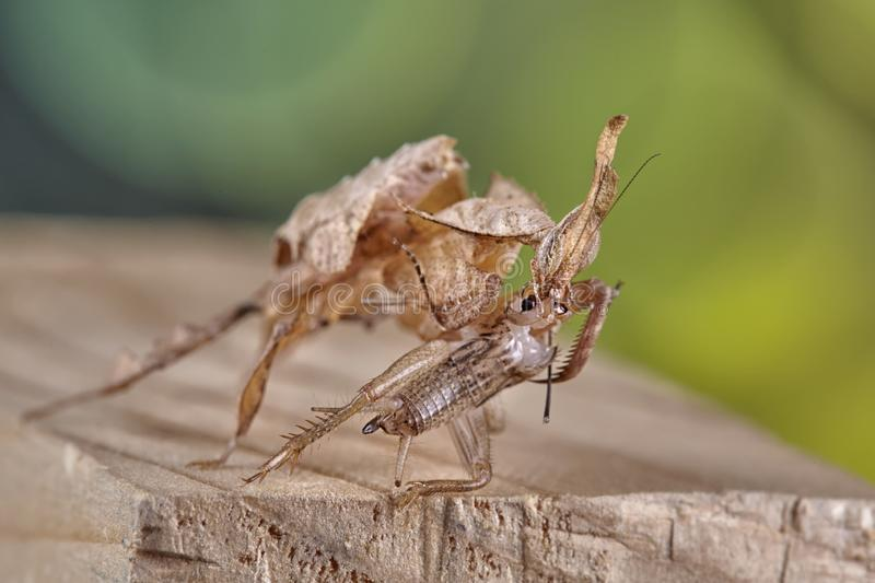 Ghost mantis Phyllocrania paradoxa - African predatory insect. Macro stock photo