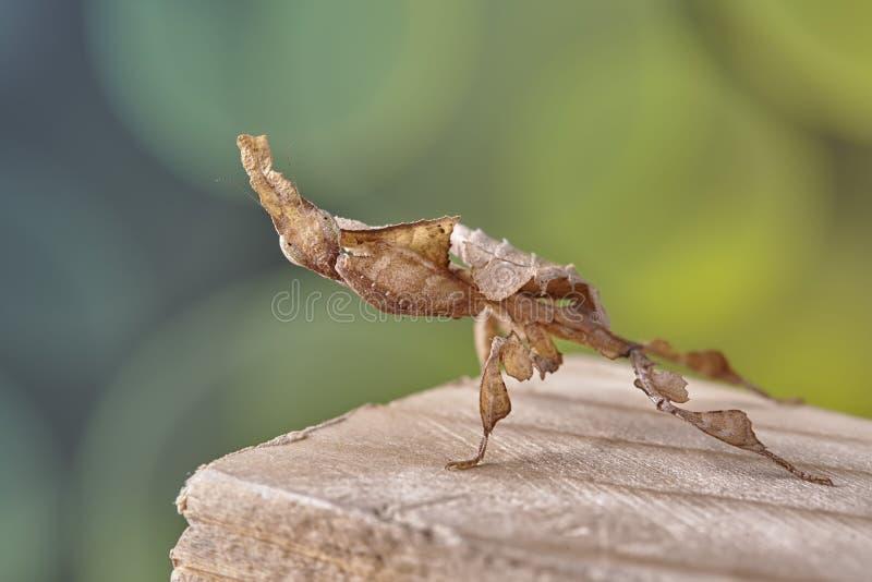Ghost mantis Phyllocrania paradoxa - African predatory insect. Macro stock photography