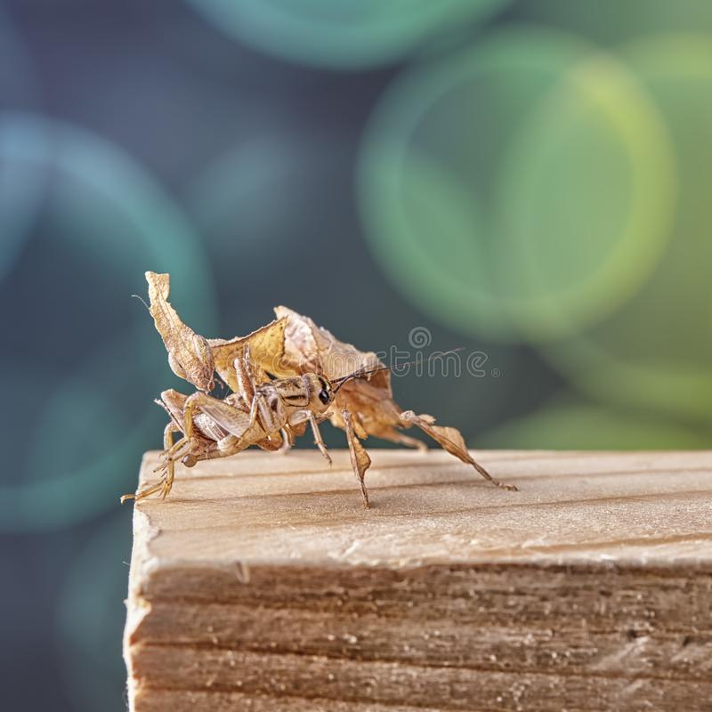 Ghost mantis Phyllocrania paradoxa - African predatory insect. Macro royalty free stock photography