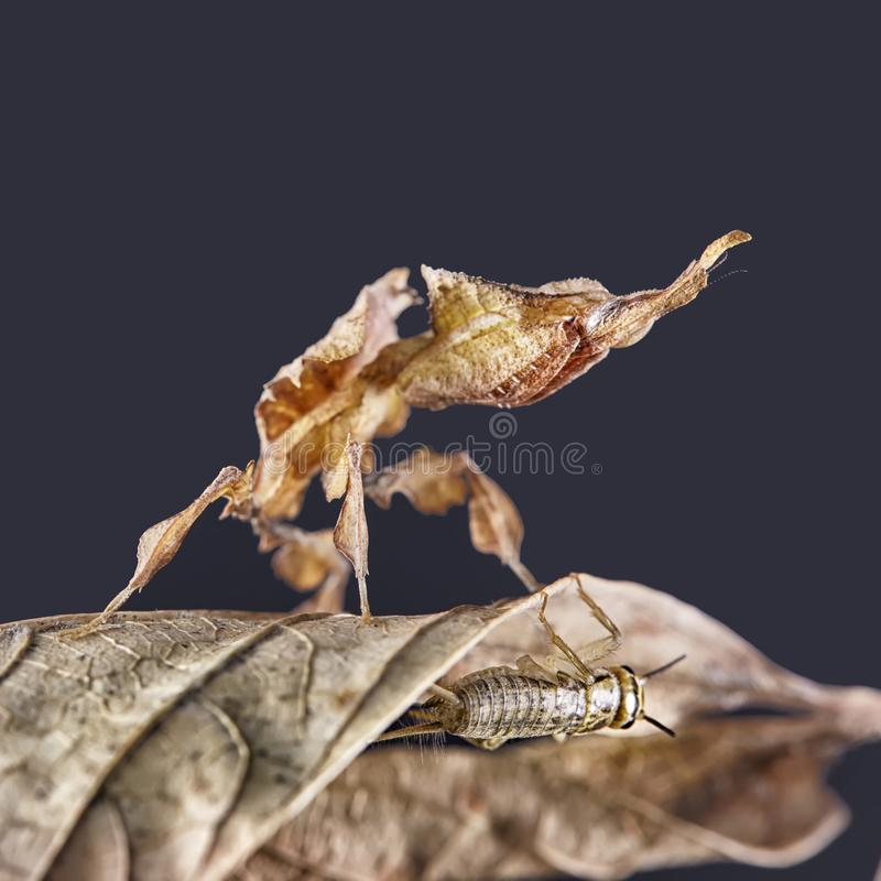 Ghost mantis Phyllocrania paradoxa - African predatory insect. Macro stock images